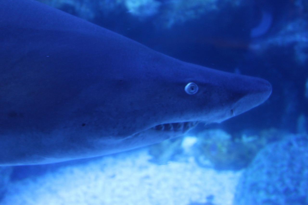 おっかない目をしたシロワニはサメの仲間